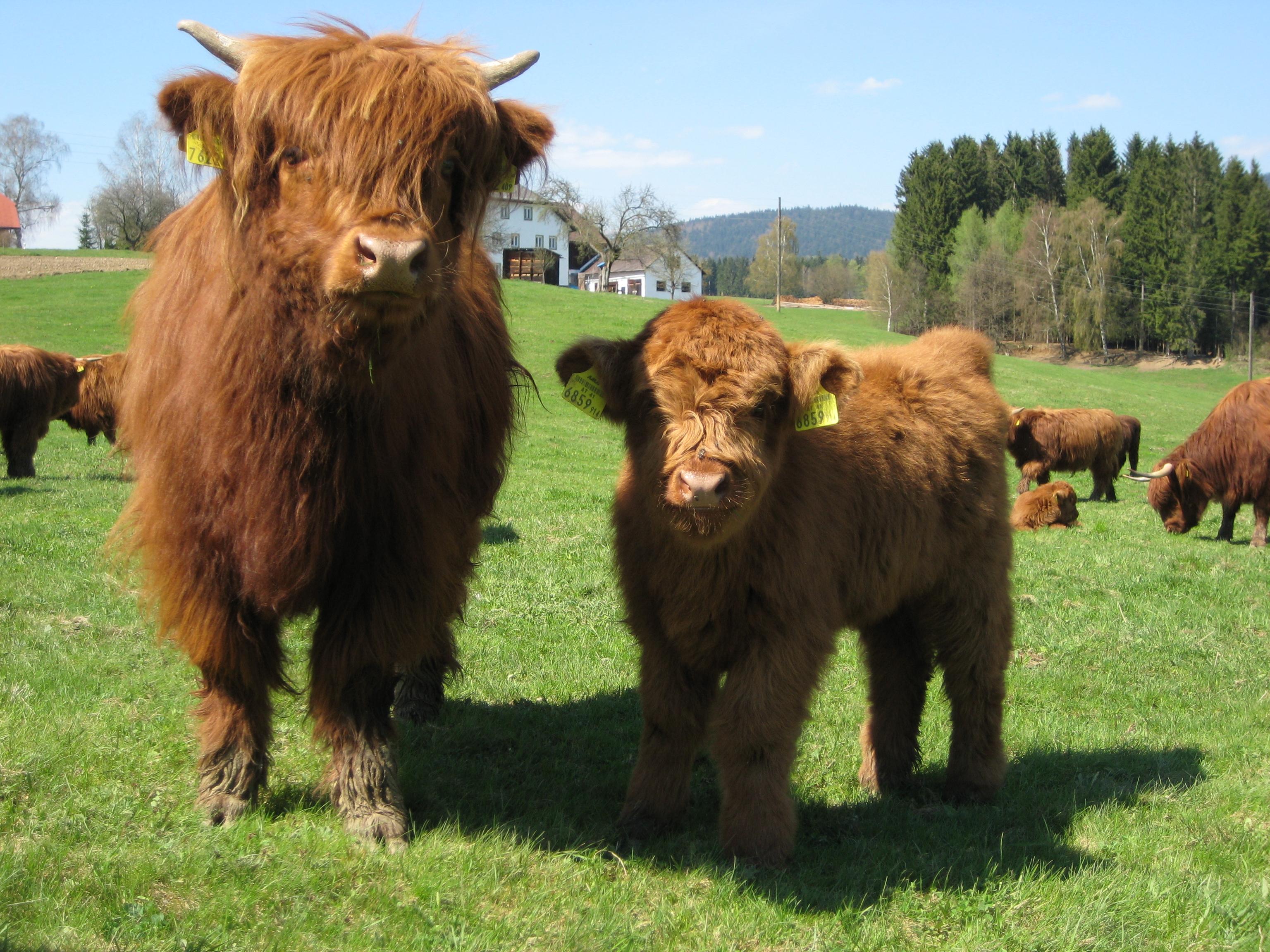 Джерсейская порода коров: характеристика, особенности ухода и разведения