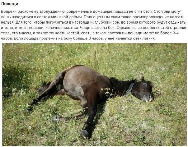 Сон лошади – спит ли конь стоя?