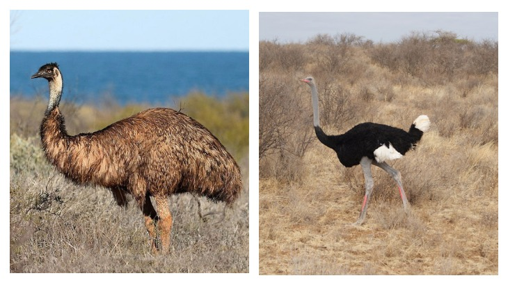 Образ жизни, питания и обитания страусов эму