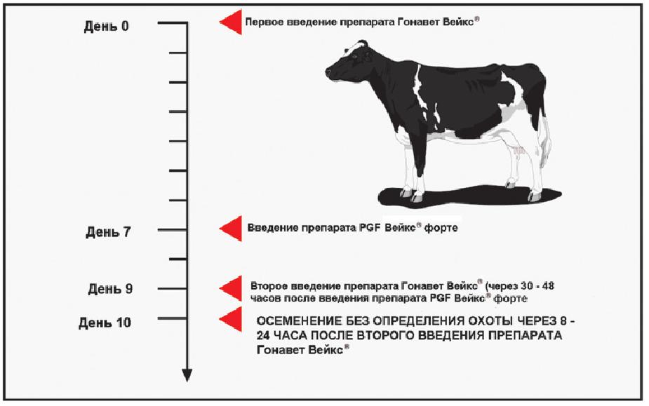 Стельность коровы: что это такое, как определить, календарь стельности