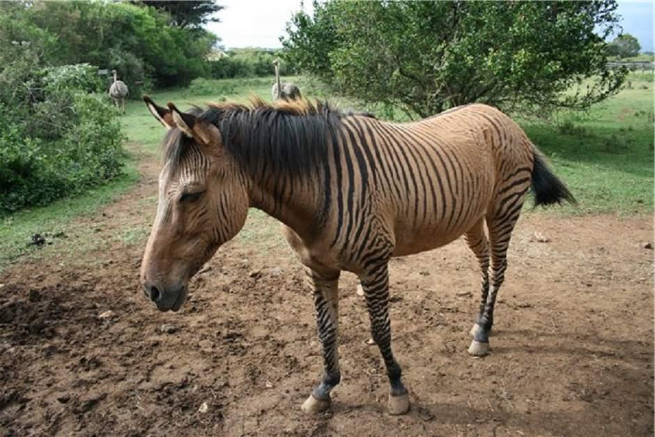 Мул — это гибрид осла и лошади. стандарты, описание, применение.