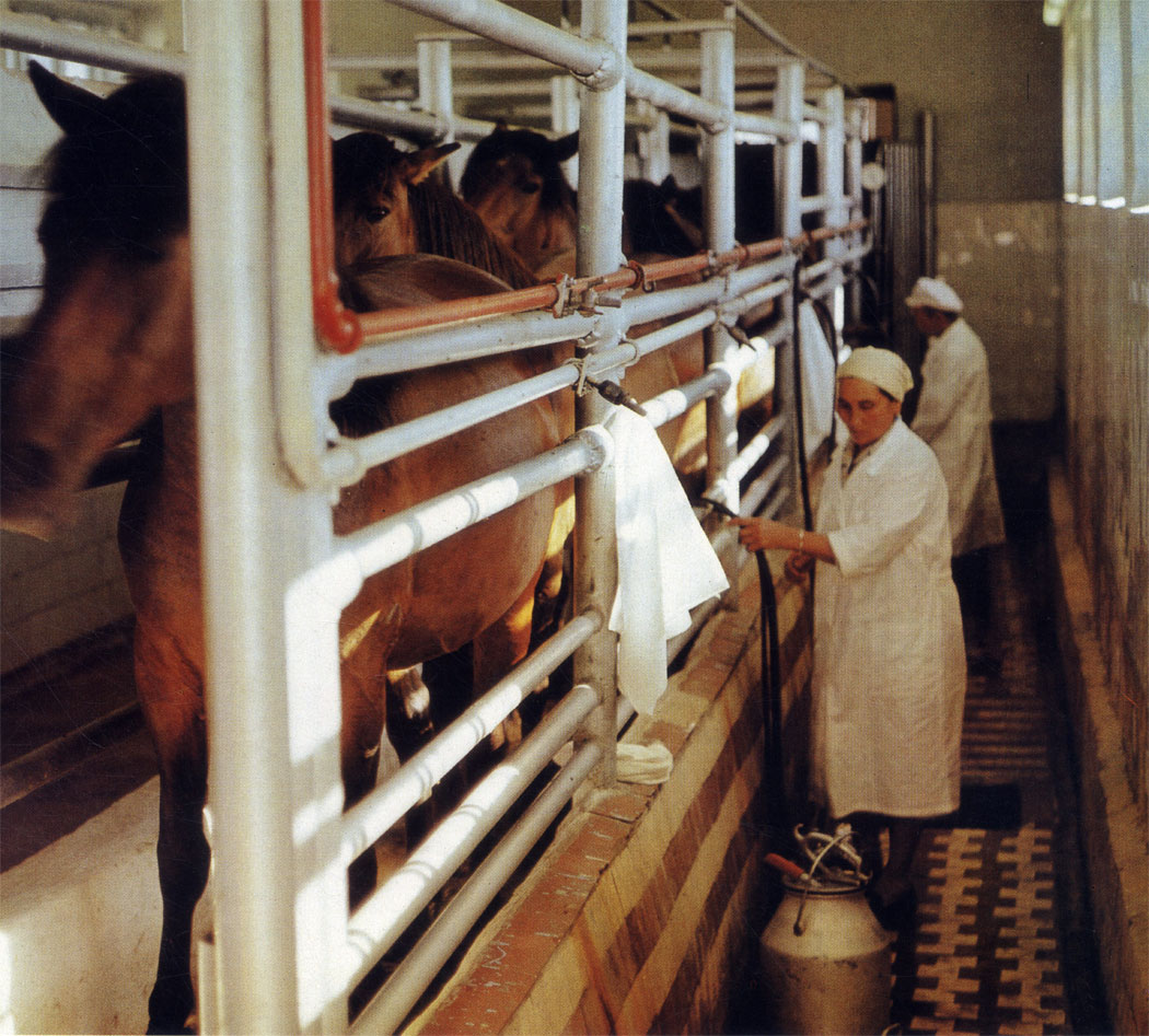 Лошадиное молоко: состав и полезные свойства, использование в кулинарии