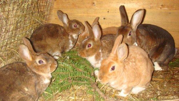Чем кормить кроликов, чтобы они набирали вес? рацион кроликов для быстрого набора массы