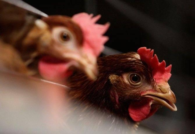 Что делать, если куры чихают, хрипят и кашляют, каковы причины болезни и чем ее лечить