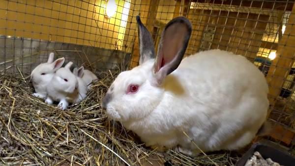 Об окроле крольчихи: сроки, что делать дальше, советы для начинающих