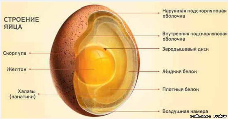 Почему скорлупа у яиц разного цвета