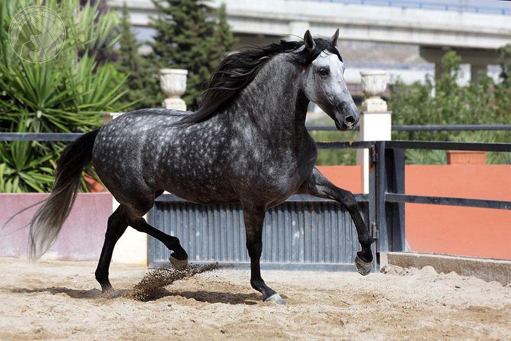 Андалузская лошадь (31 фото): особенности породы, черные чистокровные испанские кони. сколько весит андалуз?