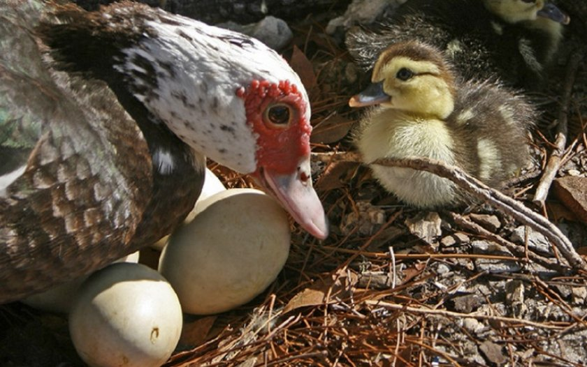 Высиживает индоутка: сколько дней домашняя птица высиживает яйца и при какой температуре, может ли она вывести цыплят и отзывы об этом