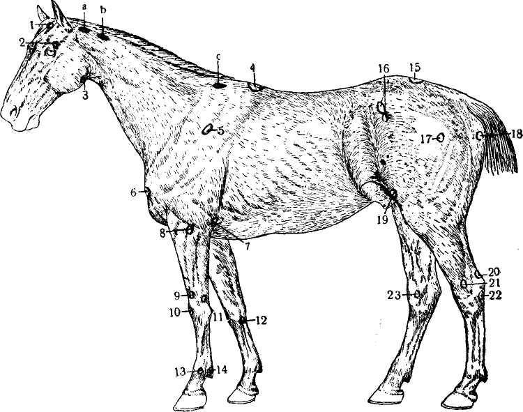 Анатомия лошади и пони: особенности строения крупа у животного и т