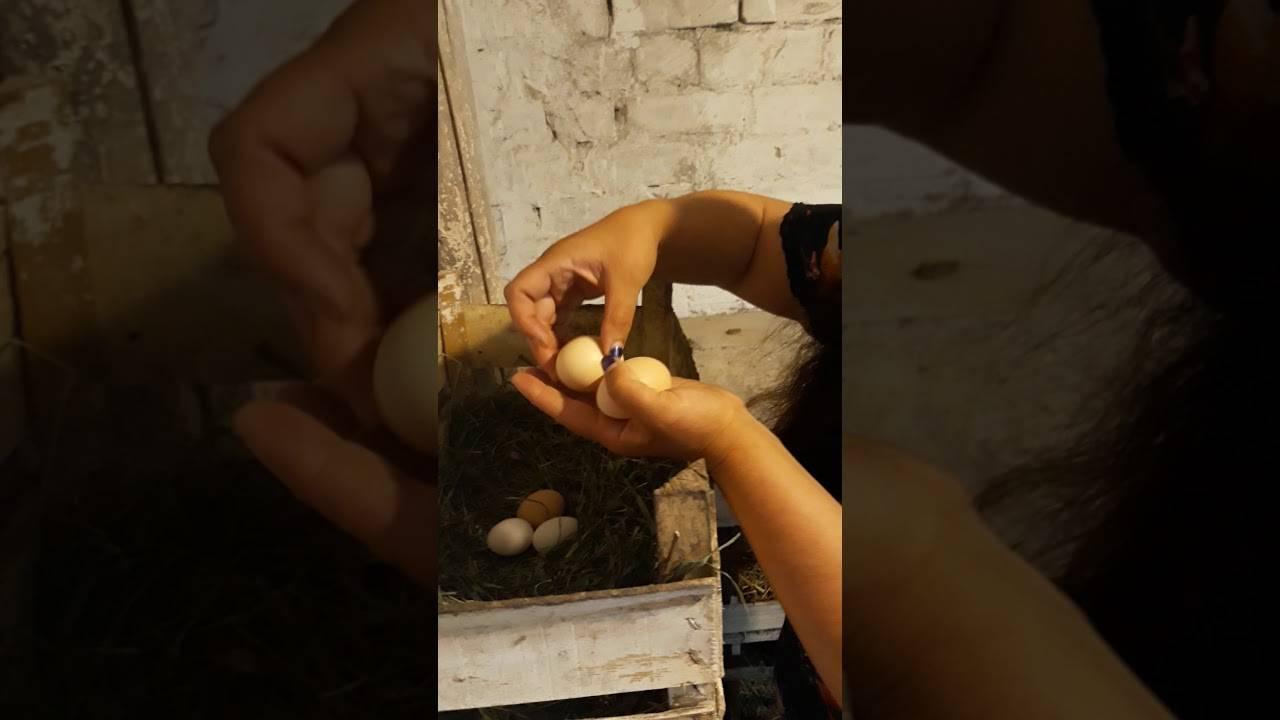 Несушка села на яйца: как приучить и как отучить домашнюю птицу высиживать яйца