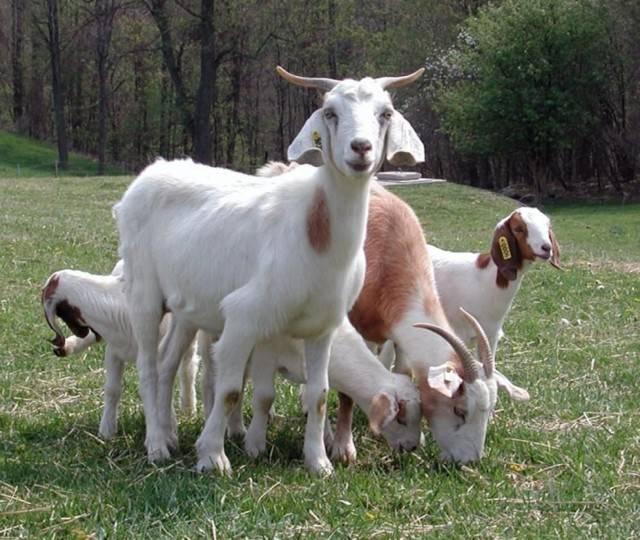 Лучшие молочные породы коз: описание и характеристика