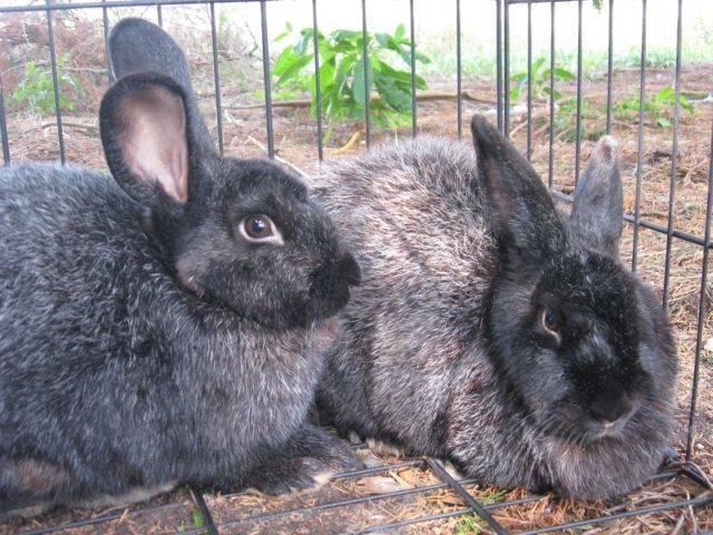 Шиншилловый кролик: описание породы, содержание и уход - всёпродачу