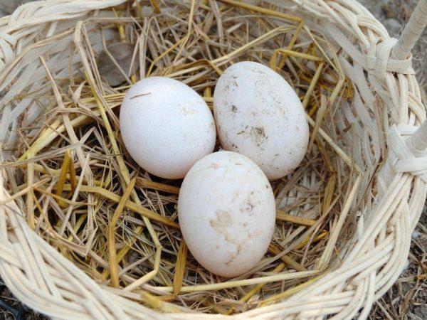 Cколько дней сидит индоутка на яйцах