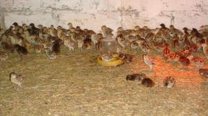 Содержание и кормление фазанов в домашних условиях: корм для птенцов и взрослых птиц, содержание зимой