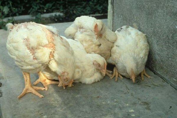 Болезнь марека: формы, симптомы, можно ли излечить птиц?