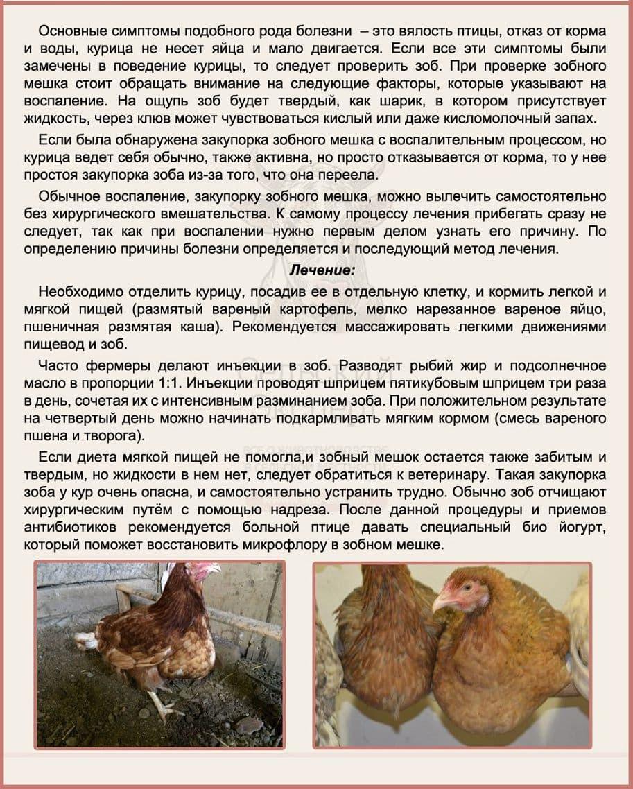 У курицы не переваривается пища. что делать, если у курицы забит и воспален зоб. какие могут быть заболевания зобного мешка