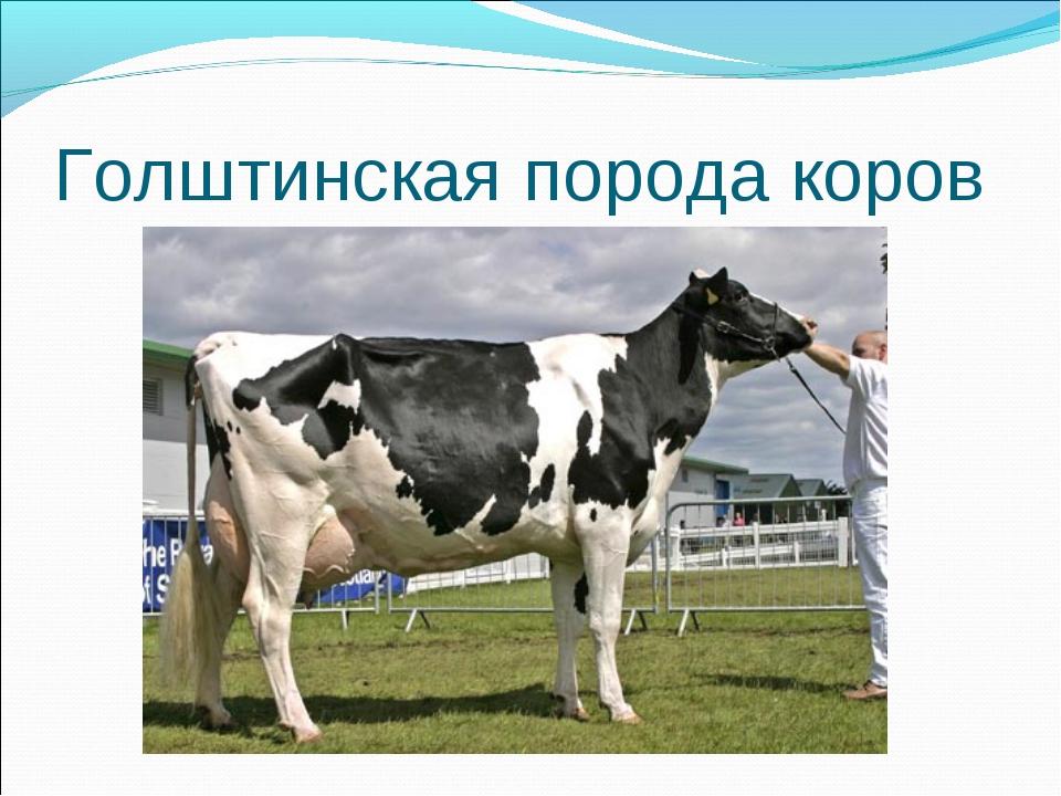 Породы крс молочного направления: описание с фото, показатели продуктивности