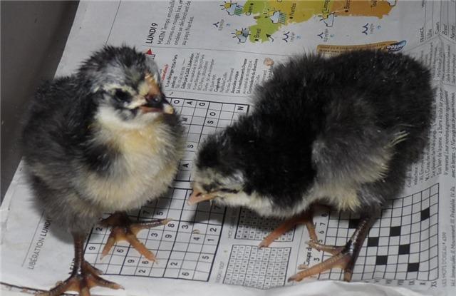 Фото цыплят разных пород кур – суточные и подрощенные