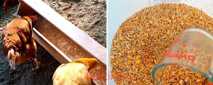 Как правильно выбрать и прорастить зерно для кур?