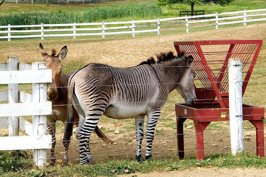 Скрещивание лошадей: виды. особенности и результаты спаривания ослов и лошадей