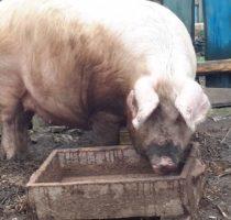 Чем лечится рожа у свиней. лечение рожи у свиньи в домашних условиях. меры борьбы и профилактики рожи свиней - медицинская энциклопедия