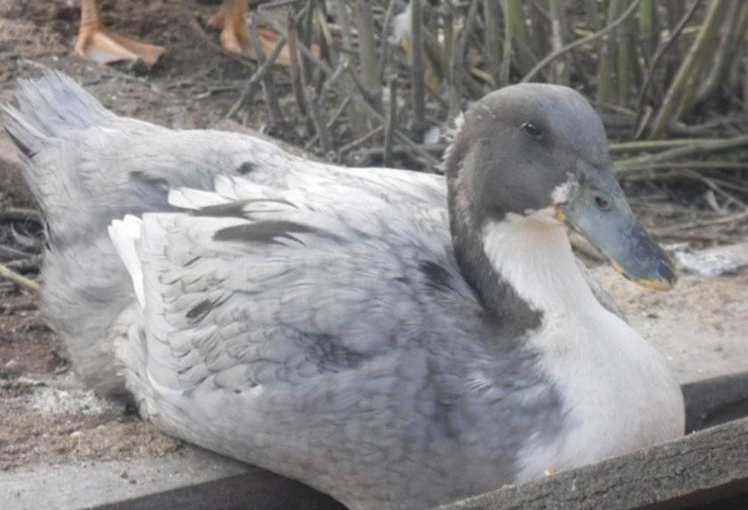 Утка голубой фаворит: описание породы и особенности разведения