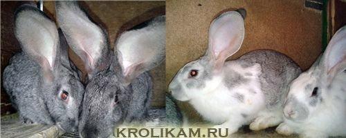 Дохнут крольчата — что за беда за этим стоит?