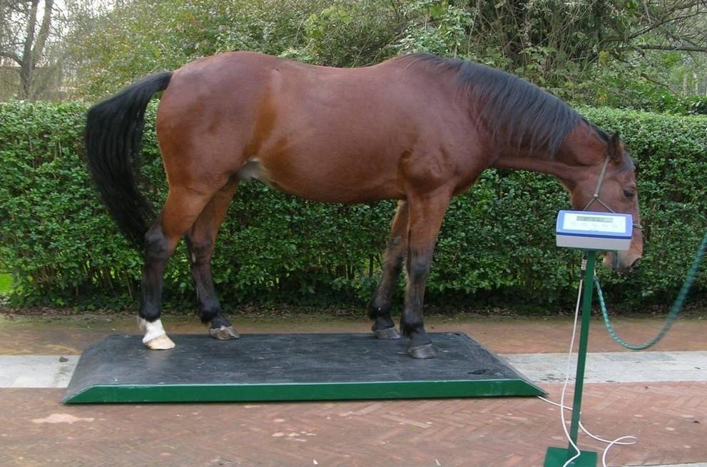 Сколько весит взрослая лошадь в среднем