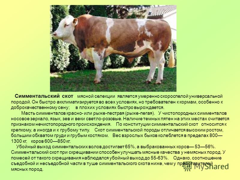 Симментальская порода коров: фото, характеристики и продуктивность