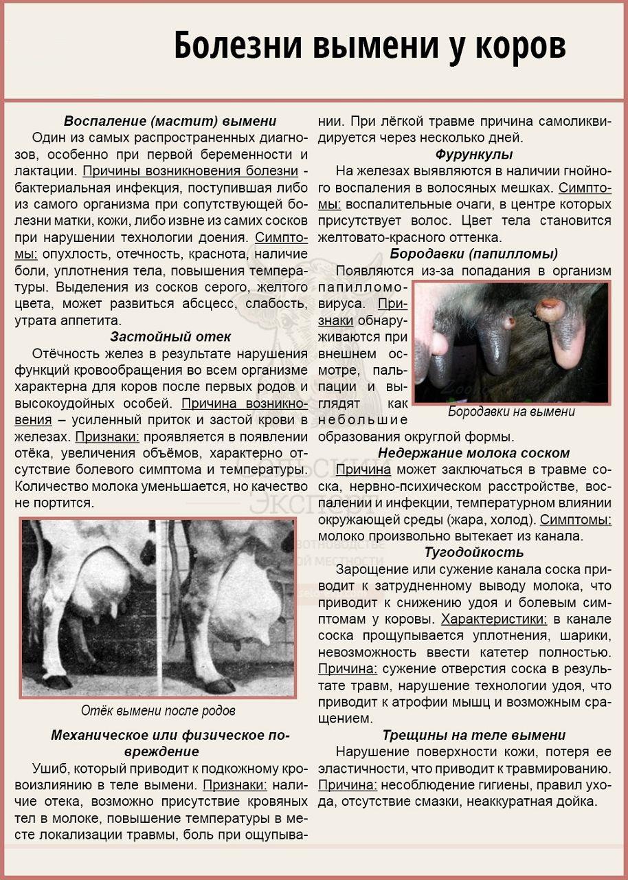 Болезни телят: признаки, лечение, профилактика