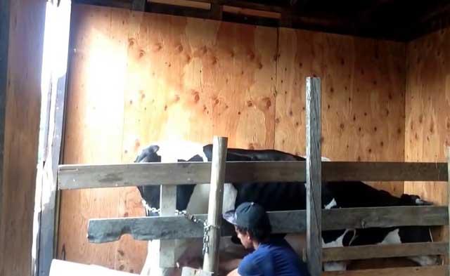 У коровы нет жвачки: что делать и как лечить в домашних условиях