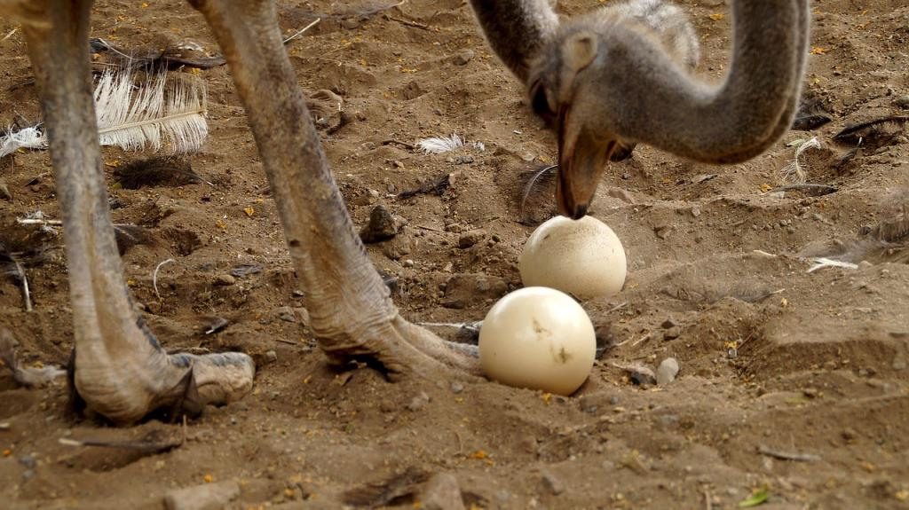 Страусиное яйцо: размеры и вес, как несется страус, состав и полезные свойства