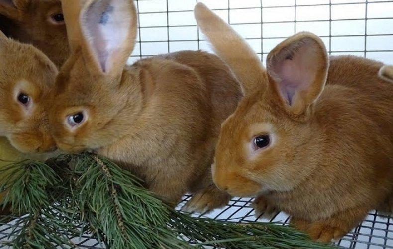 Ветки каких деревьев можно давать кроликам и технология заготовки продукта