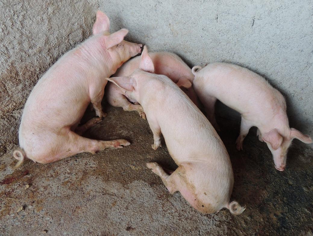 Болезни свиней и поросят — признаки, симптомы и лечение