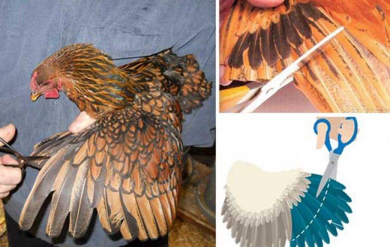 Пошаговая инструкция и фото как правильно подрезать курам крылья