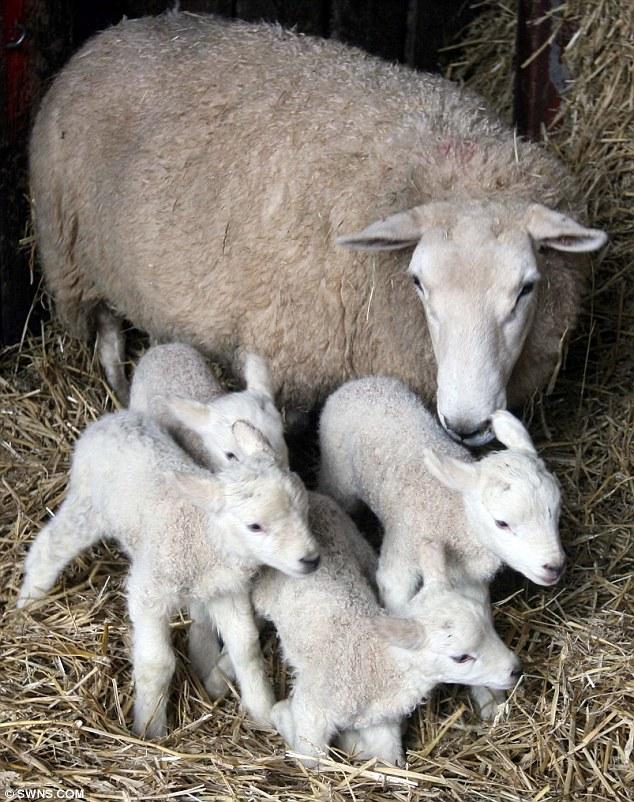 Как называется детёныш овцы: уход и содержание молодняка