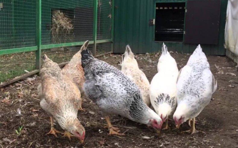 Загорская лососевая порода кур: описание, характеристики, содержание и разведение