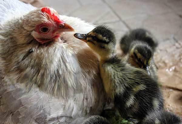 Цыплята и утята вместе – можно или нет и какие сложности возникнут