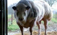 Уход за яловой коровой и профилактика причин яловости