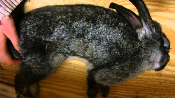 Кокцидиоз у кроликов: причины заражения, лечение и профилактика