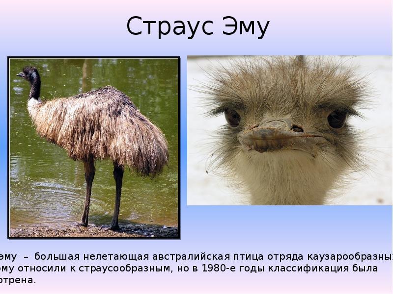 Факты из жизни страуса, что интересно узнать о нём ребёнку