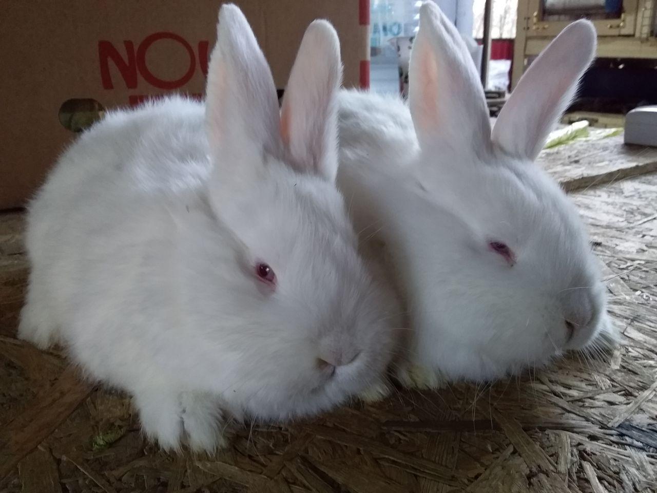 Разведение новозеландских кроликов и характеристика пород