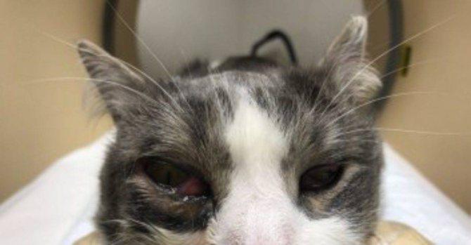 Все про абсцессы у котов: причины и способы лечения нарывов у питомцев