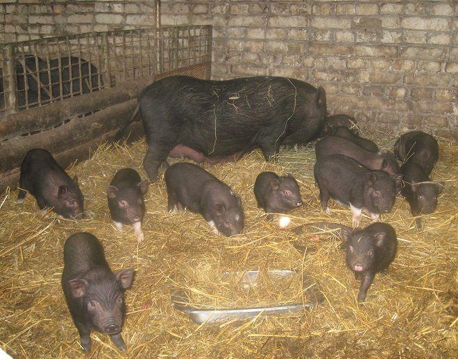 Содержание свиней: грамотный уход, кормление и содержание (90 фото и видео)