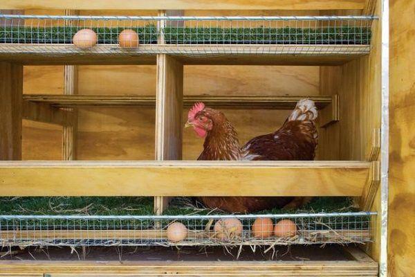 Почему куры клюют яйца: причины, что делать