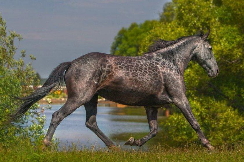 Всё о карачаевской породе лошадей