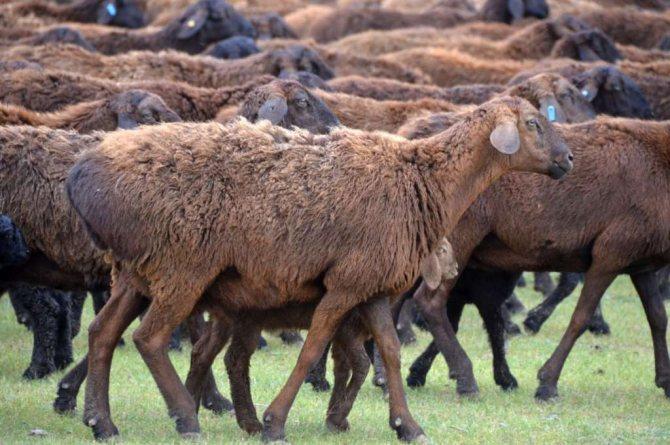 Гиссарская порода овец - содержание и разведение, характеристика