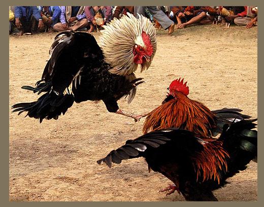 ✅ все о бойцовских петухах, курах и цыплятах (особенности пород боевых петухов) - tehnomir32.ru