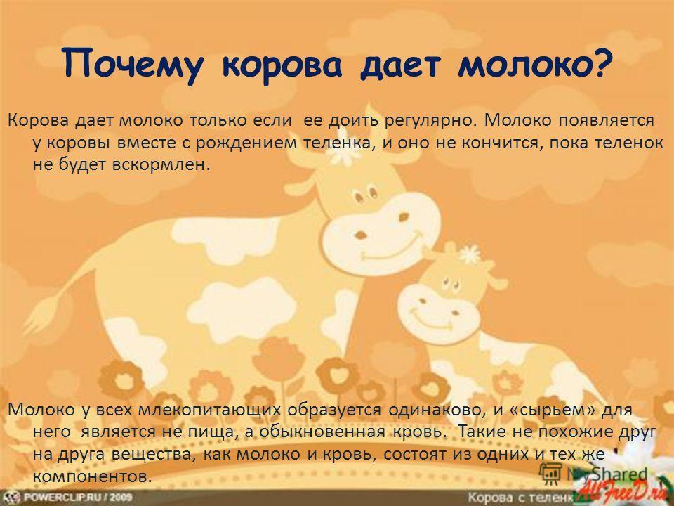 Сколько корова дает молока и почему оно белое, рекордные показатели надоев.