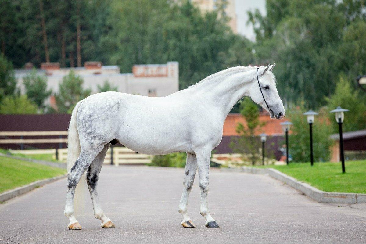 Орловский рысак: описание породы лошадей, характеристика